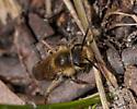 Andrena erythrogaster? - Andrena erythrogaster