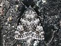 Moth - Catocala amica-lineella