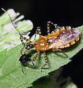 Pselliopus with Chinavia - Pselliopus cinctus