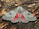 Syssphinx heiligbrodti - Hodges #7710 - Syssphinx heiligbrodti - male