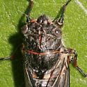 Cicada - Maybe Okanagana species? - Platypedia areolata