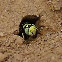 Green-eyed Wasp Nest - Philanthus