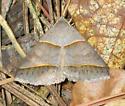 Common Ptichodis - Hodges #8750 - Ptichodis herbarum
