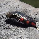 Black Beetle, red dots - Acmaeodera plagiaticauda