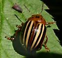 False potato beetle - Leptinotarsa juncta