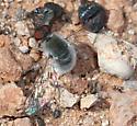 Red-eyed bombyliid - Aphoebantus mus - female