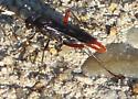 Ichneumon Wasp - Limonethe maurator - male