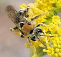 Bee - Andrena biscutellata - female