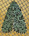 Green Moth - Leuconycta diphteroides