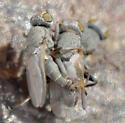 amorous flies - Tethina parvula - male - female