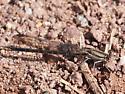 Damselfly #2 at Six Mile Run - Argia fumipennis - female