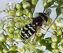 Eupeodes volucris - female