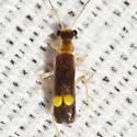 Soldier Beetle - Malthinus difficilis
