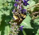 American Bumble Bee male - Bombus pensylvanicus - male