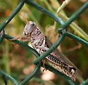 Grasshopper ID Request - Melanoplus differentialis - female