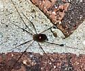 Red Spot on Daddy Long Legs