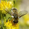 Bombyliidae - Villa
