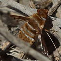 Bee fly by the sea shore - Lepidanthrax