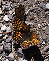 Crescent or checkerspot - Chlosyne palla
