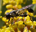 Tiny Syrphid Fly - Syritta pipiens