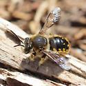 European Wool-carder Bee - Anthidium manicatum