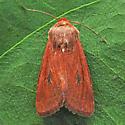 Apamea inficita ssp. indela - Apamea inficita