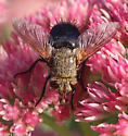 Archytas Fly Species - Archytas