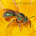 Female Green Bee - Agapostemon texanus - female
