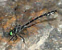 Arrow Clubtail - Stylurus spiniceps - male