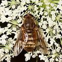 Fly - Stonemyia tranquilla