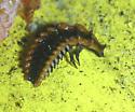 Lampyrid larvae - Calopteron