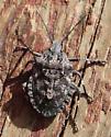 Hemiptera - Brochymena affinis
