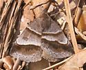 Woodland Chocolate Moth - Argyrostrotis sylvarum
