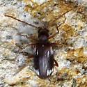 Coleoptera 5-12-10 01a - Ptinus sexpunctatus