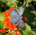 Blue Metalmark - Lasaia sula - male