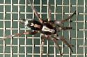 Parsons Spider - Herpyllus ecclesiasticus