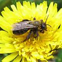 Apidae 6-03-10 03b - Andrena