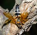 very large hornet-looking insect in a tree wound - Sphecius speciosus