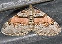 Labrador Carpet Moth - Xanthorhoe labradorensis
