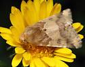 Moth - Schinia