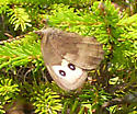 Northern Pearly-Eye? Brown/grey butterfly 2 large spots on forewing - Cercyonis pegala - female