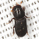 Aphodiine Dung Beetle - Ataenius gracilis