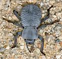 Ironclad Beetle - Asbolus verrucosus