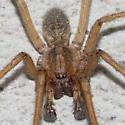 spider - Eratigena agrestis - male