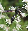 Wasp - Eumenes fraternus