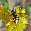 Rotund Bee Mimic - Chrysotoxum - male