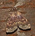 UI Baited Moth 080309-2 - Idia lubricalis