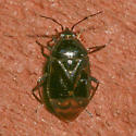 Miridae - Deraeocoris - female
