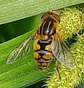 Unknown Dipteran - Parhelophilus? - Parhelophilus laetus