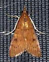 Please help us to identify this moth. - Uresiphita reversalis